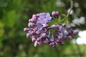 una pequeña rama de lilas en flor foto