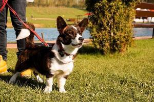 Corgi marrón con una correa sobre la hierba verde. caminar en un día soleado. mascota feliz foto
