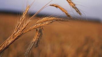 heat field. Ears of golden wheat close up photo