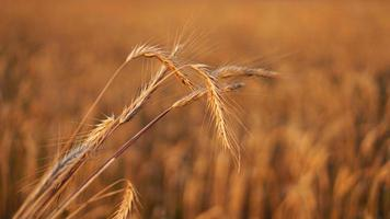Wheat field. Ears of golden wheat close up photo
