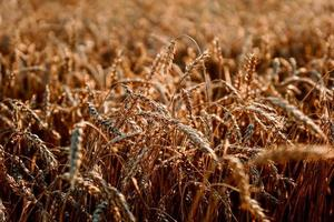 Ears of wheat. Summer wheat field. Natural natural background photo