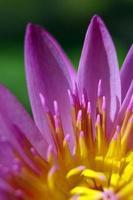 pétalo morado y polen amarillo de nenúfar foto