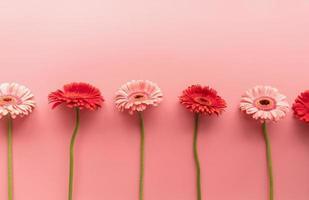 Margaritas gerberas rojas y rosadas en crudo sobre un fondo rosa foto