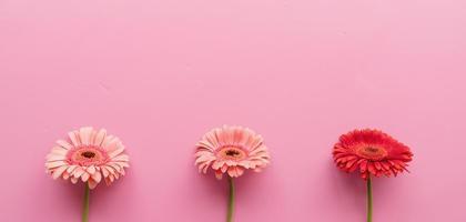 Tres margaritas gerbera en crudo sobre un fondo rosa foto