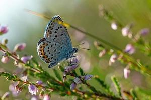 Plano lateral de una mariposa azul con tachuelas plateadas en un heather flowerr r foto