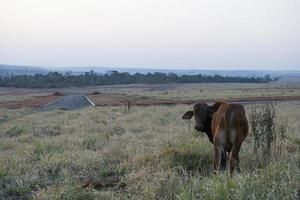 Beef cattle grazing on dry grass during the Brazilian autumn. photo