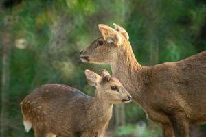 Natural deer in Thung Kramang Wildlife Sanctuary, Chaiyaphum, Thailand photo