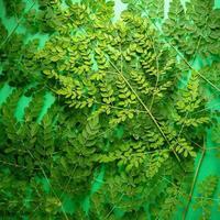 Fresh Moringa green leaves on green balckground photo