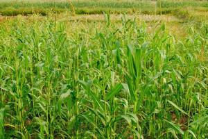 Young maize field,Corn field in early morning light photo