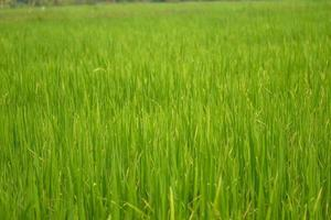 Beautiful abstract view of young paddy plants, View of paddy fields photo