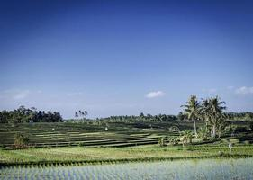 Rice paddy fields rural farming landscape view near Tabanan in south Bali Indonesia photo