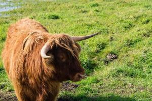 Cow with horns photo