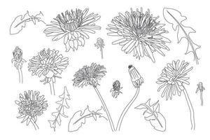 Sketch Floral Botany Collection. dandelion flower drawings. vector