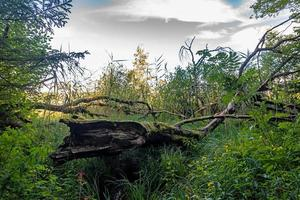 Rotten tree stump in the Bavarian Moor with ferns, reeds and trees photo