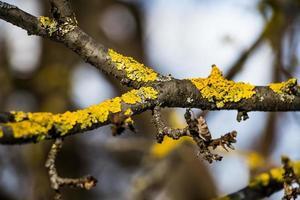 Lichen on a tree branch close-up photo