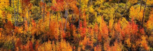 Panoramic view of colorful Aspen and cotton wood trees  in Colorado photo