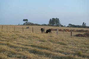 Beef cattle grazing on a hot day under intense sun and very dry grass photo