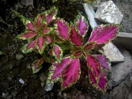 Hermosa planta ornamental de coleo verde rojo foto