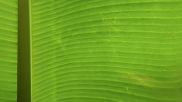 Detalle de textura de hoja de plátano macro foto