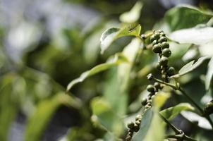 Organic peppercorn pods growing on pepper vine plant in Kampot Cambodia photo