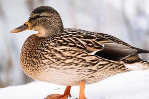 pato marrón salvaje en invierno. caza de ánades reales. foto