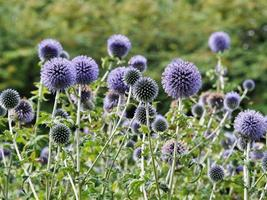 Purple Southern globe thistle flowers in a garden photo