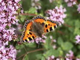 Pequeña mariposa de carey alimentándose de flores de orégano foto