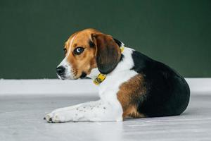 Beagle dog with a yellow collar sits on a white wooden floor photo