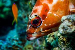 Fish swim in the Red Sea, colorful fish, Eilat Israel photo