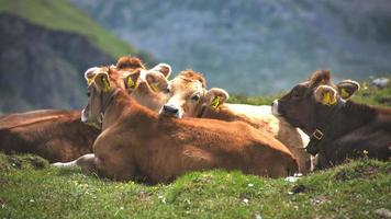 Grupo de vacas de raza alpina en rebaño foto