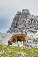 Vaca en los Alpes suizos pastando foto