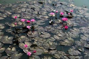 flores de loto en el estanque foto
