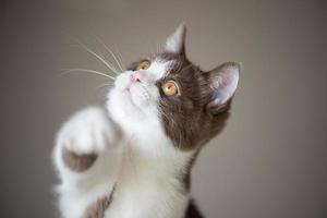 Lindo gatito gato británico de pelo corto aislado sobre fondo marrón gris foto