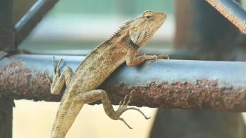 Lizard crawling on the iron photo