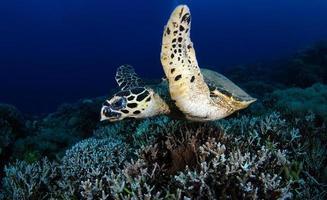 tortuga carey en el mar foto