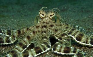 Mimic Octopus in the Lembeh Strait photo