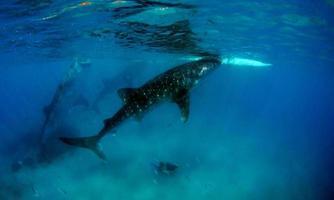 tiburon blanco gigante foto