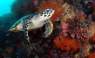 Hawksbill Sea Turtle is looking for food photo