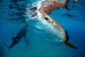 alimentando tiburones ballena en las filipinas foto