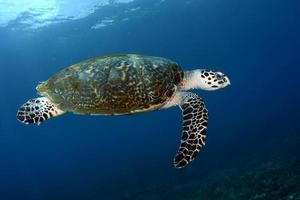 Sea turtle in the open water photo