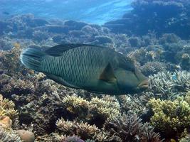 pez napoleón gigante en el mar rojo foto