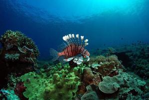 Lionfish at a coral reef of Komodo island photo