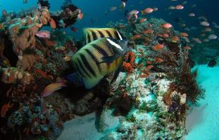 A couple of Sixbar Angelfish swims beside corals photo