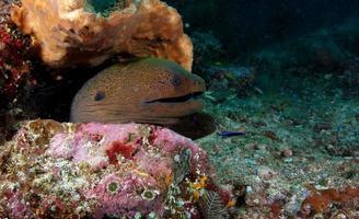 A Giant Moray Eel photo