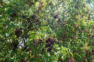 Sambucus de saúco negro en un arbusto de saúco foto