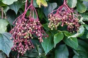 Black elderberries sambucus at an elderberry bush photo