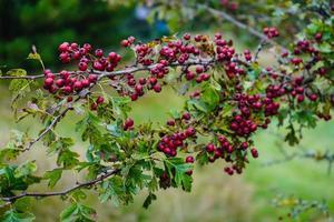 Red berries of the crataegus tree photo