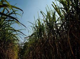 Hoja de caña de azúcar en el viento en la granja foto