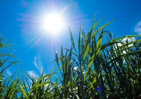 Sunlight and blue sky over the Sugarcane leaves photo