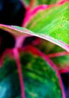 Leaf of Aglaonema 'Siam Aurora'  tropical houseplant photo